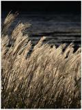 Tall Grass Along the Lake.jpg
