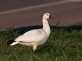 Snow Goose Alone in the City.jpg