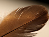Goose Feather Backlit By the Sun.jpg