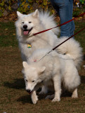 Samoyed Dogs.jpg