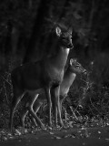 Doe and Fawn, Soon to be Seperated by Rut