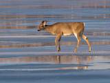 Doe on Thin Ice on Lake.jpg