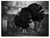 Old Tom Turkey
