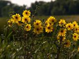 Yellow Wild Flowers .jpg