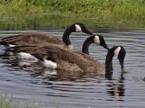 Three Goslings Grown Up.jpg