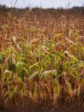 Corn Field Rainy Day.jpg