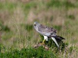Northern Harrier with Kill