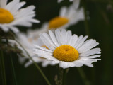 Daisies in a Field.jpg