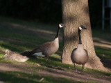 Goose Pair and Gosling.jpg
