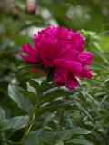 Peony Flower Fushia.jpg