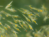 Grass in Bloom_2.jpg