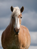 Belgian Work Horse.jpg