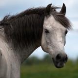 Grey Horse rp.jpg