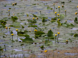 Yellow Water Lily Flowers