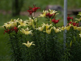 Yellow n Red Lillies