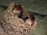 Cliff Swallow Pair