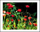 Poppies Poster.jpg