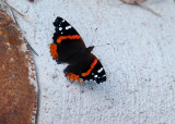 Butterfly on the Curb.jpg