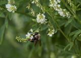Bumble Bee good wings.jpg