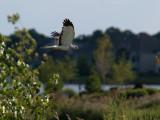Northern Harrier.jpg