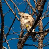 Broad Shouldered Hawk4.jpg