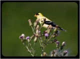Gold Finch Male on Thistle.jpg