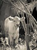 Little White Calf.jpg