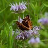 Most Beautiful Butterfly 2.jpg