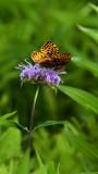 Most Beautiful Butterfly.jpg