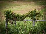 Wood Fence Posts w Vine.jpg