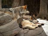 Mexican Grey Wolf Pair