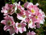 Little Pink Flowers