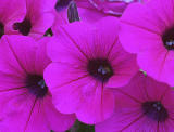 Pretty as a Petunia