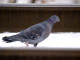 La Pigeon rp.jpg