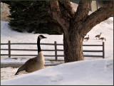 Ma and Pa Goose_2