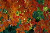 My Backyard Maple Tree