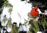 A Louisville Cardinal