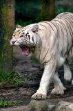 White Tiger Series