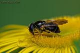Cheilosia canicularis