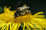 Strangalia maculata