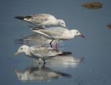 Dunbekmeeuw / Slender-billed Gull