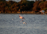 Kleine flamingo / Lesser Flamingo