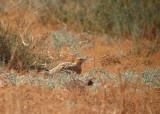 Witbuikzandhoen / Pin-tailed Sandgrouse