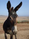 Donkey at Tarifa