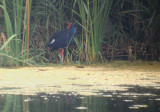 Purperkoet / Purple Gallinule
