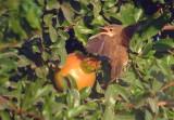Westelijke vale spotvogel / Western Olivaceous Warbler