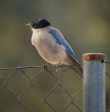 Blauwe ekster / Azure-winged Magpie