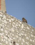 Berberaap / Gibraltar Monkey