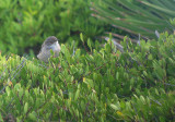 Kleine zwartkop / Sardinian Warbler