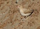 Bleke rotsmus / Pale Rock Sparrow